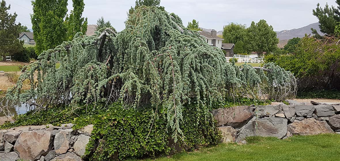 Photo of a Weeping Blue Atlas Cedar