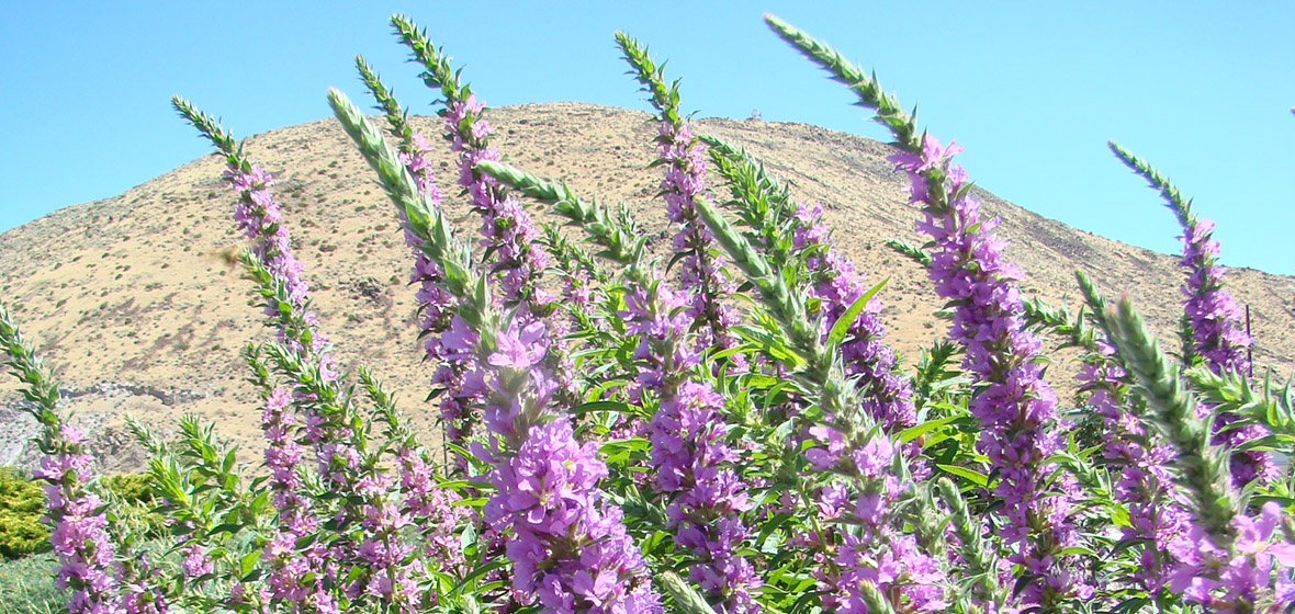 Free green industry class to discuss noxious weed identification and purple spearlike flowers mightylinksfo