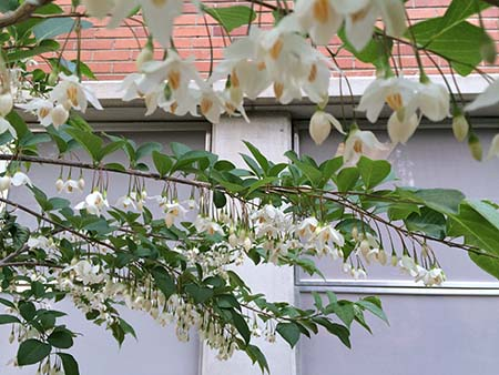 Japanese Snowbell in bloom
