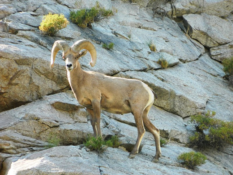 A bighorn sheep in front of granite and brush at Mt. Grant