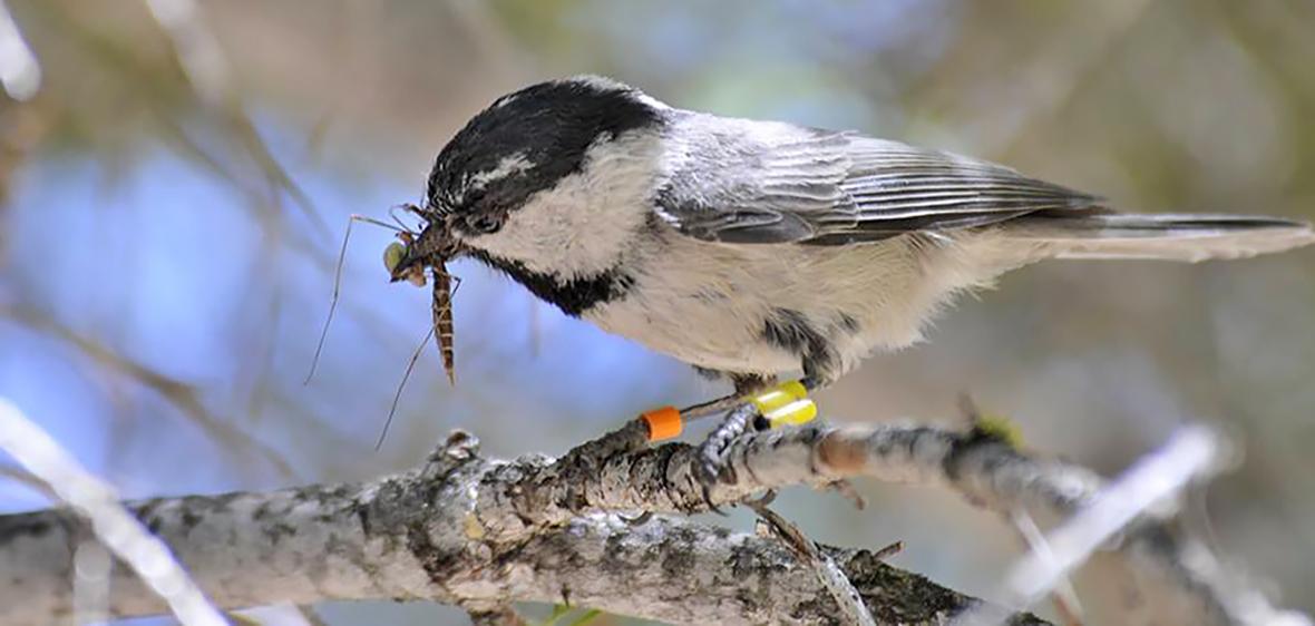 chickadee eating a bug