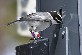 chickadee eating at feeder