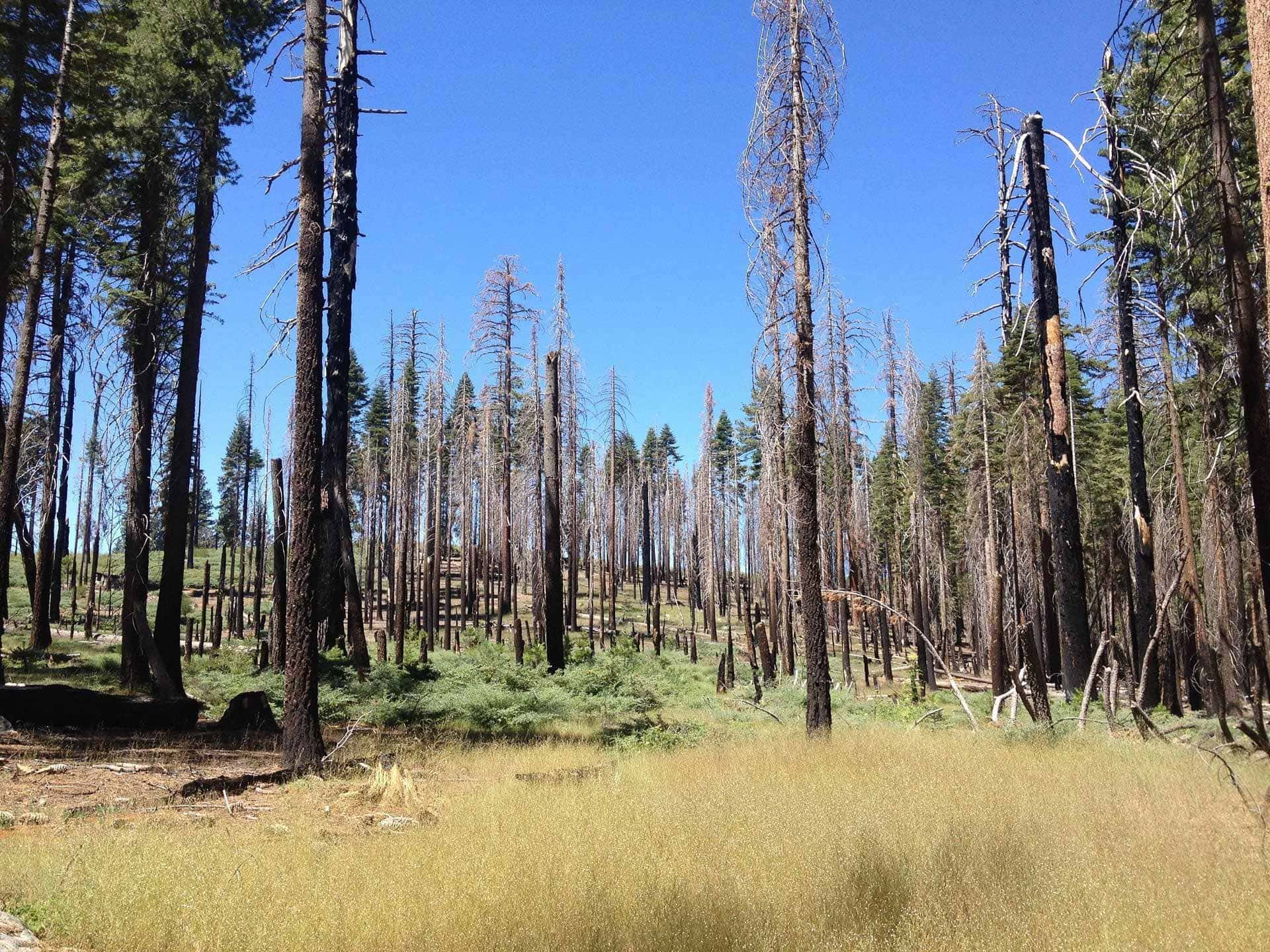 A forest with a majority of dead trees after a wildfire