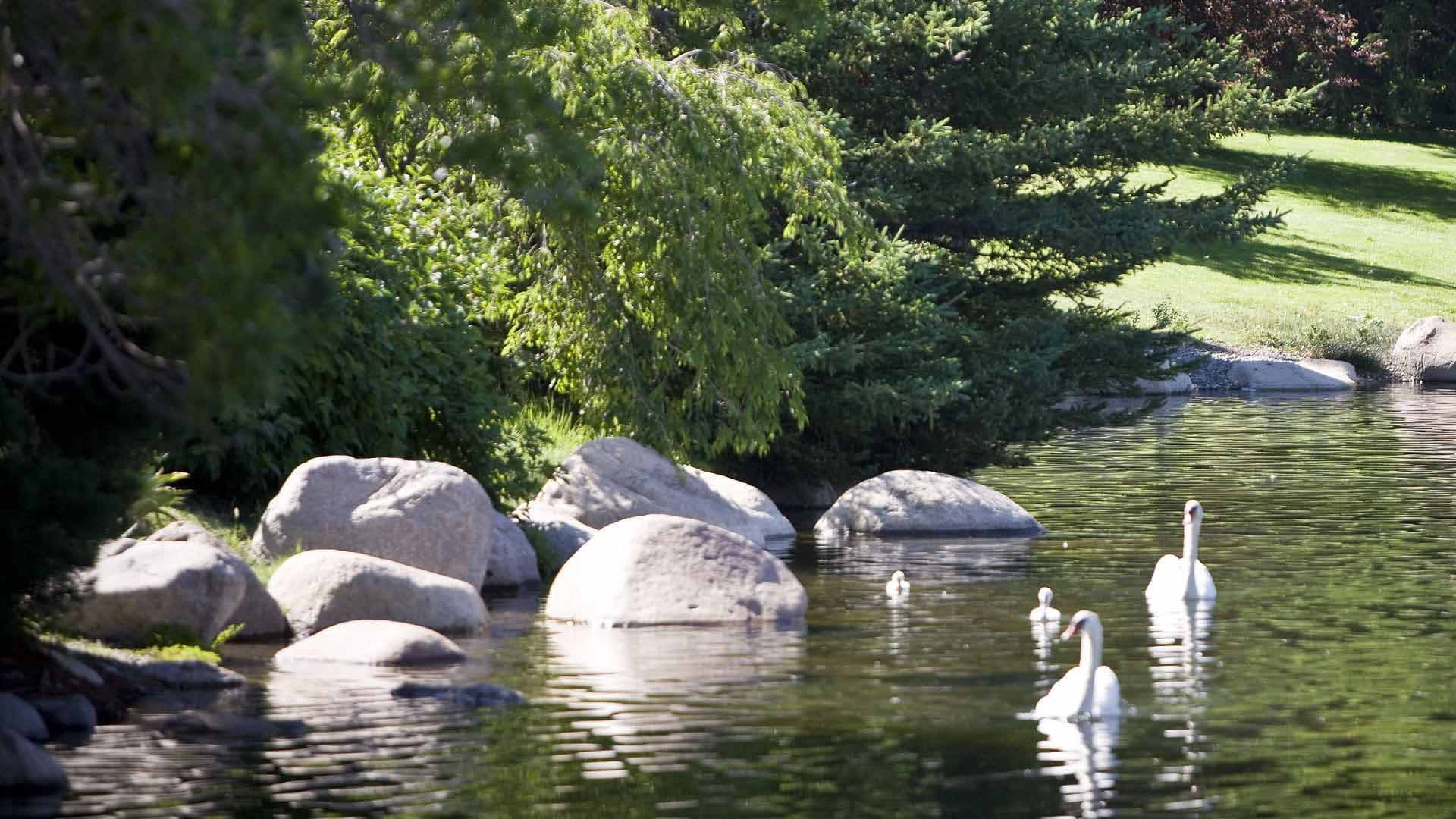Swans with their cygnets on Manzanita Lake