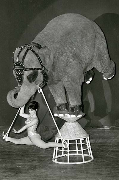 Bertha the elephant does a trick on a stool and a gymnist