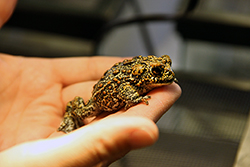 Dixie Valley toad discovered by biologists