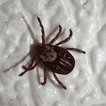 Female dermacantor tick