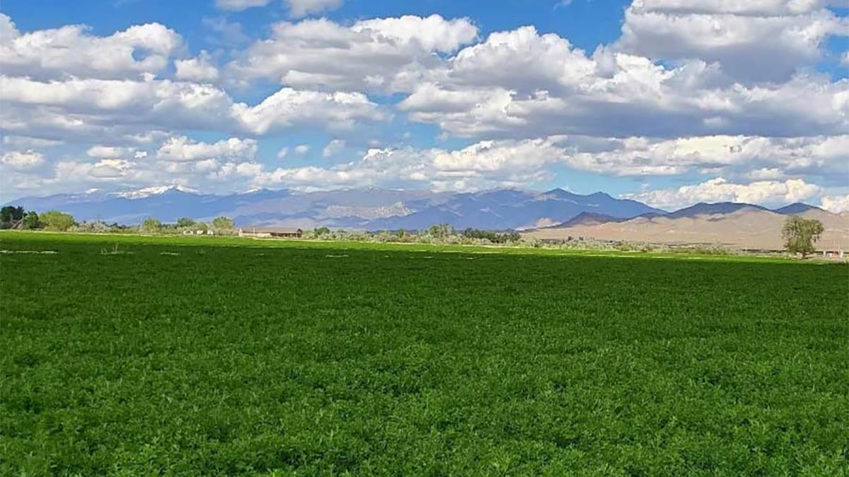 An alfalfa crop field.