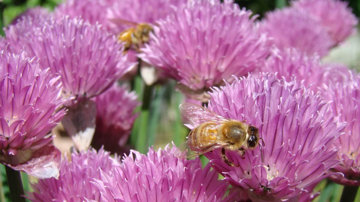 bees on chives