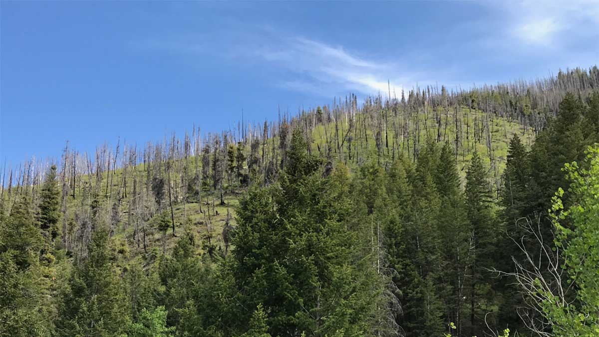 Burned trees missing most of their branches stand blackend atop an otherwise green mountainside in the central Rocky Mountain forest. In the foothills, unburned trees in various shades of green grow close together.