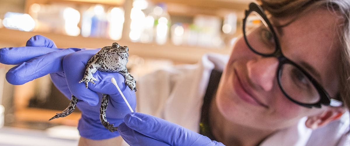 A researcher wearing safely equipment holds a toad and swabs it with a cotton swab.