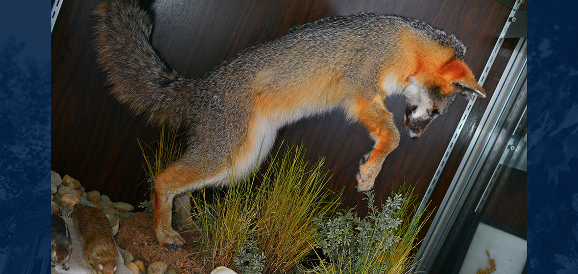 Museum Fox