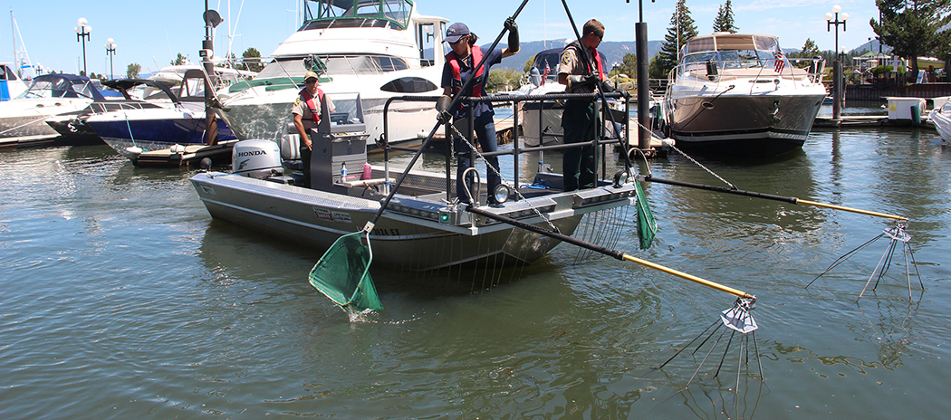 tahoe fish removal project provides fish to needy