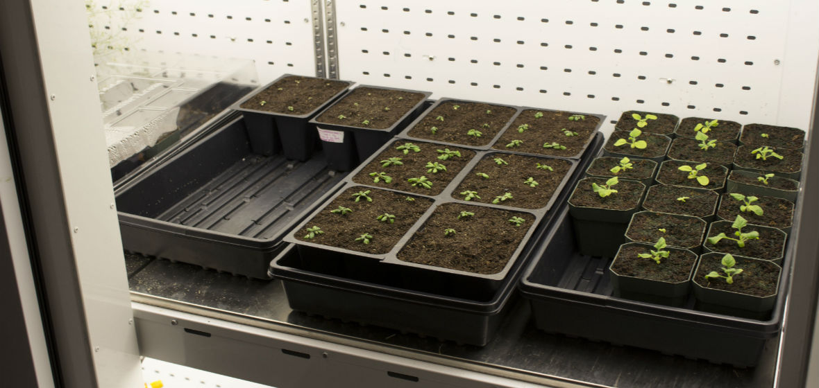Genetic plants at UNR lab
