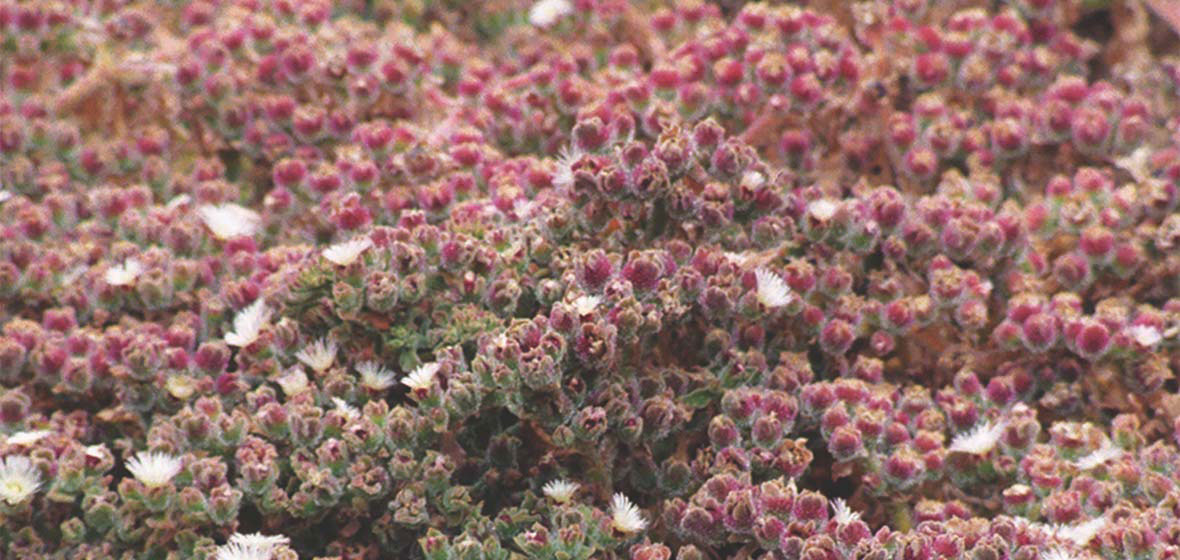 The ice plant Cushman uses for his research