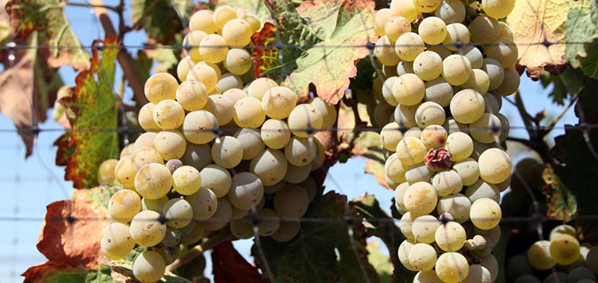 Growing winegrapes
