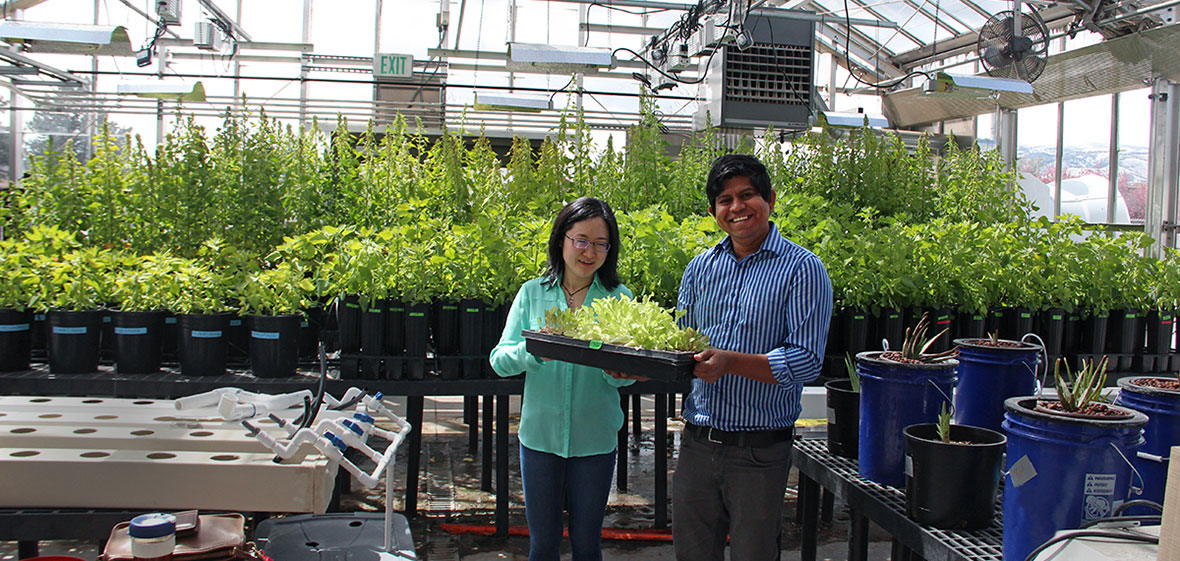 Kamol and Yaqi with lettuce standing in a greenhouse