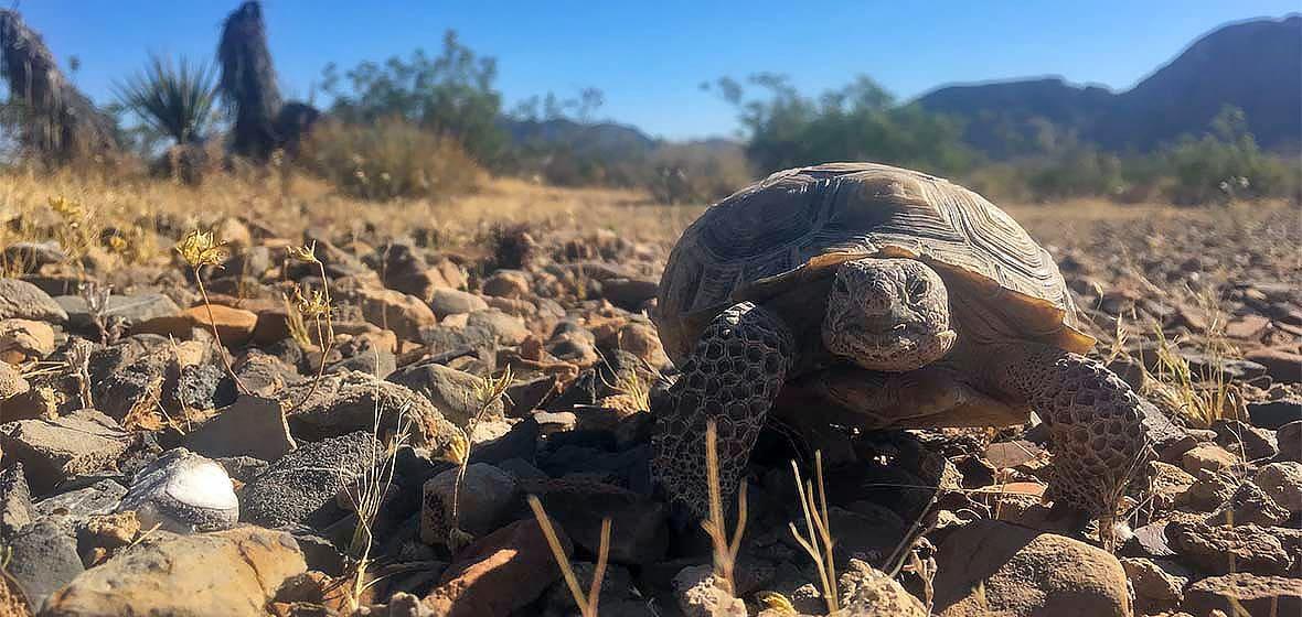 Mohave Desert Tortoise crawling in desert