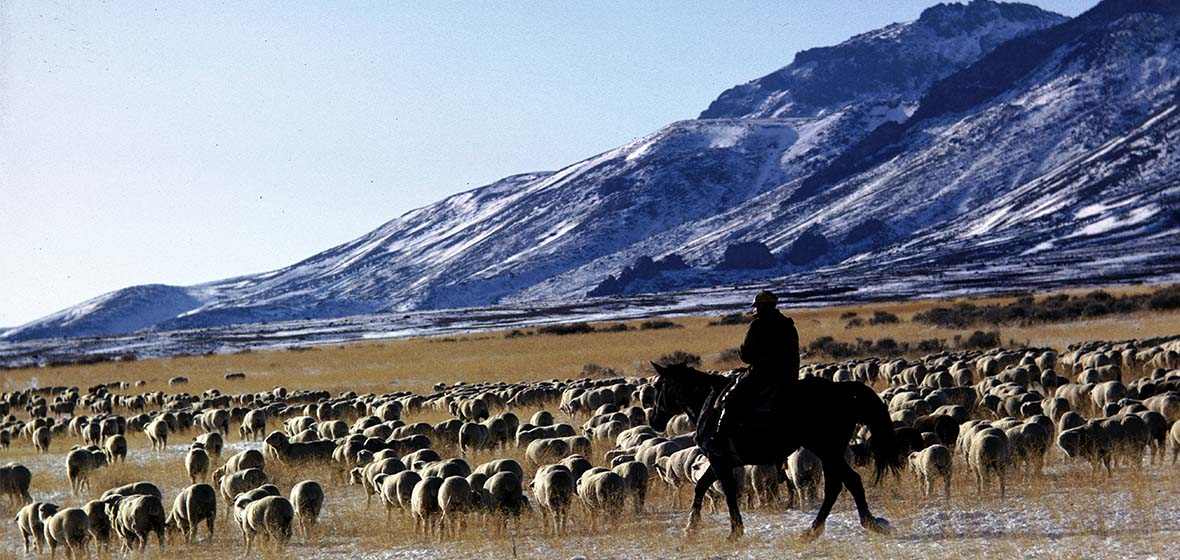 A Basque Sheep Herder moves sheep across the Sierra Nevada