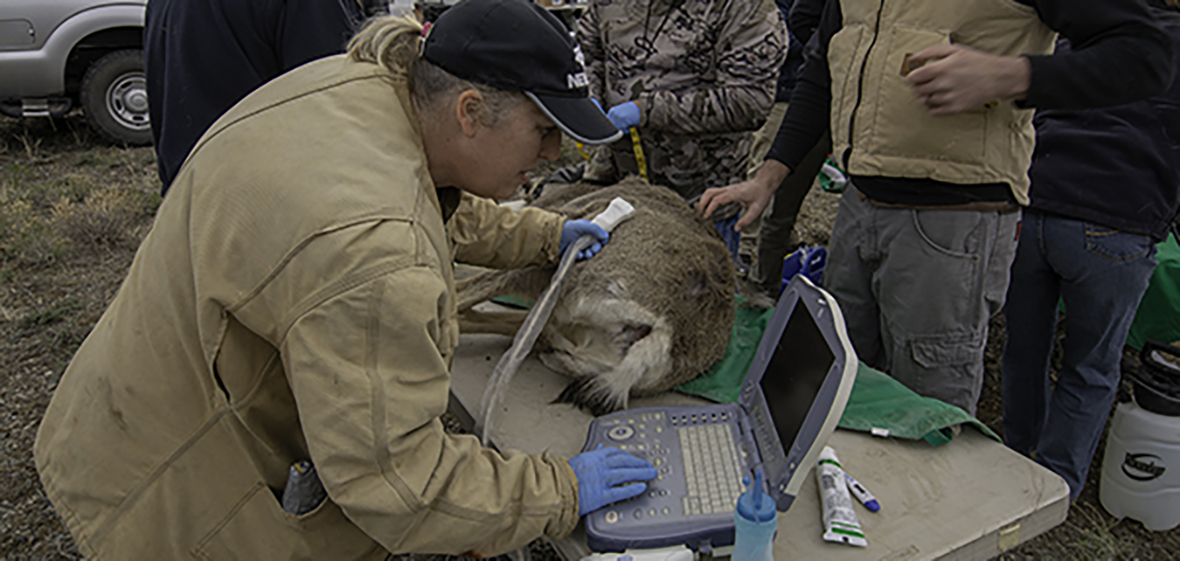 Mule deer getting an ultrasound in the field