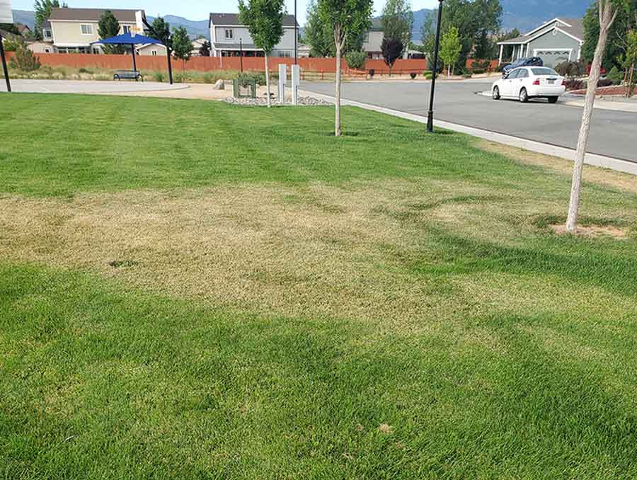 brown turfgrass surrounded by green turfgrass