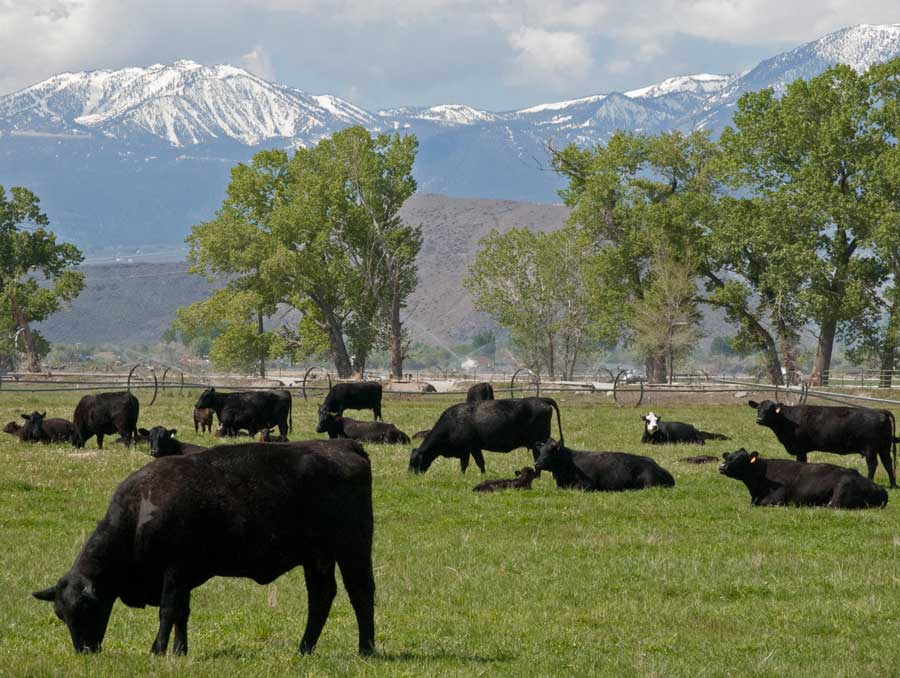 cattle grazing at the base of some mountains