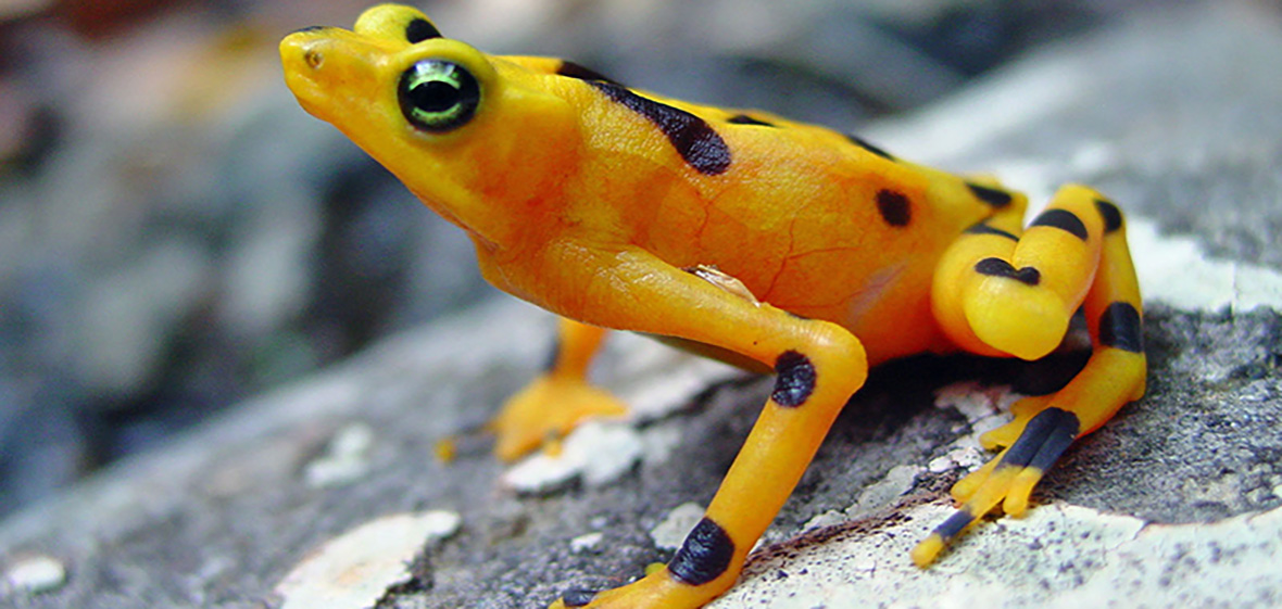 Yellow and black harlequin frog sitting on a rock