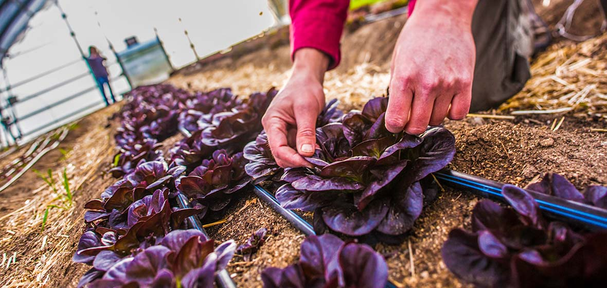 hands pulling purple leaves in a hoop house