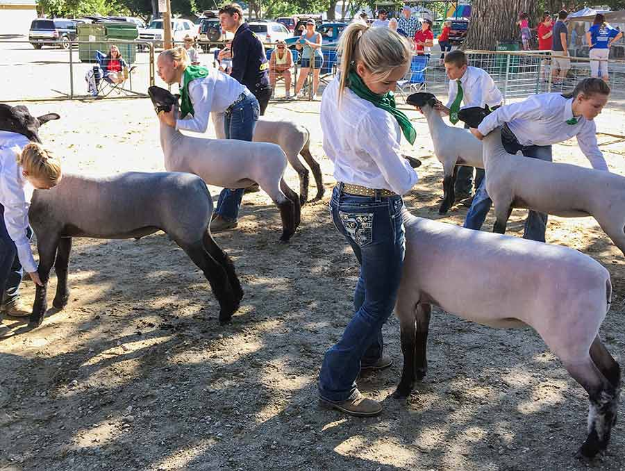 4H youth showing sheep at a fair