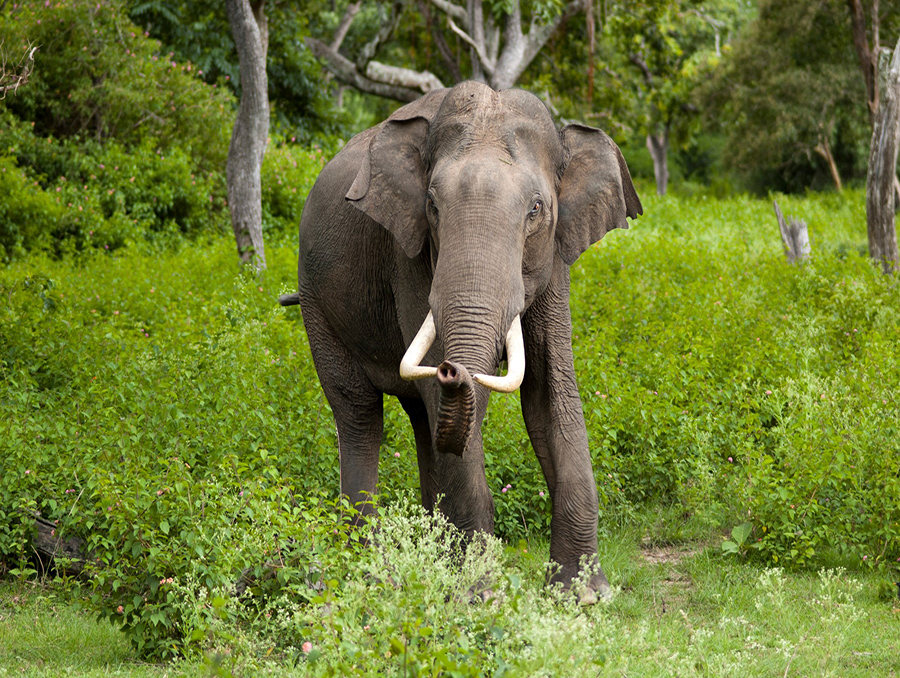 Elephant in the wild pictured by the Sri Lanka Wildlife Conservation Society