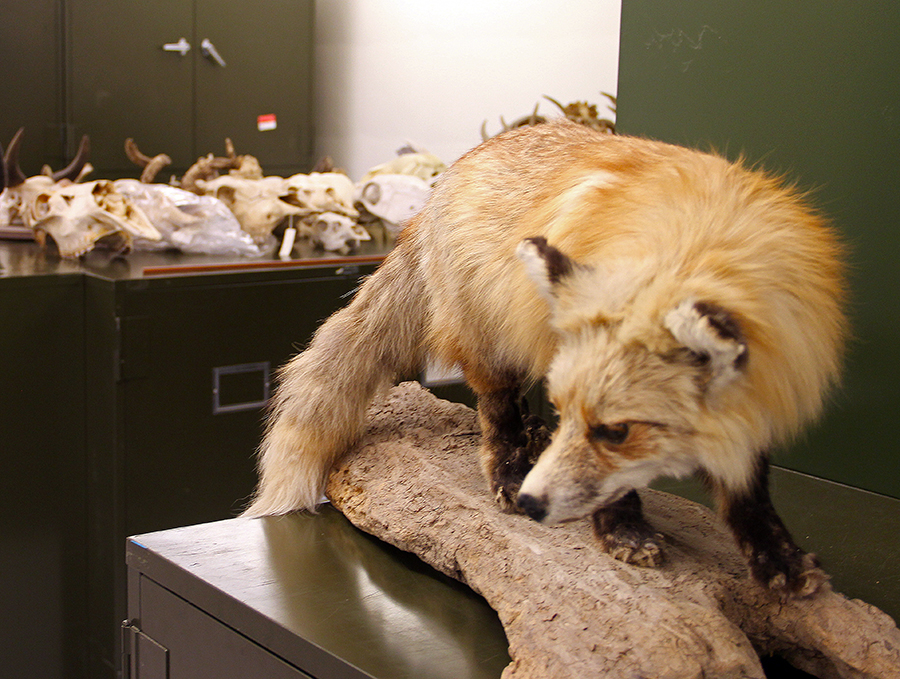 fox in natural history museum