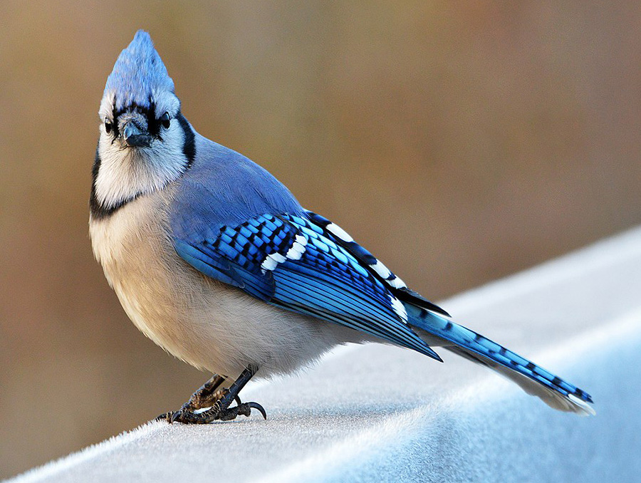 A male Blue Jay perched on an icy rail