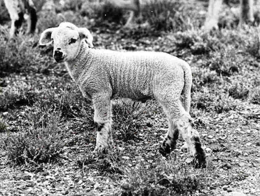 Black and White image of a lamb standing on grass