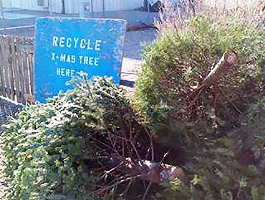 Christmas trees in front of a recycling sign