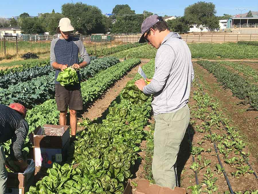 Taylor Hollaway with two other students harvesting lettuce.