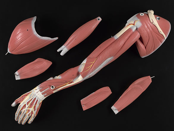 Anatomical model of a posterior view of arm muscles with parts