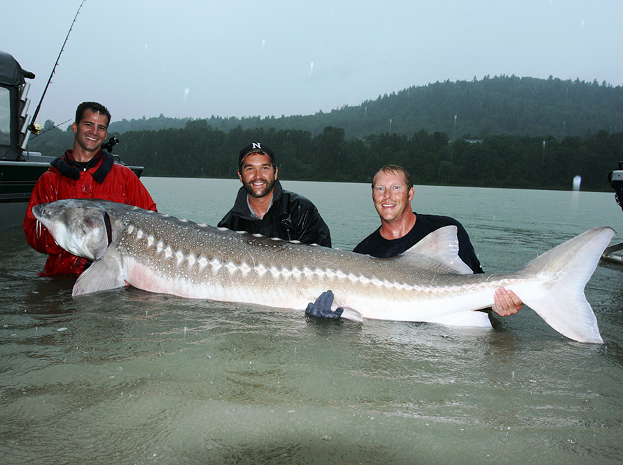 white sturgeon in the fraser river
