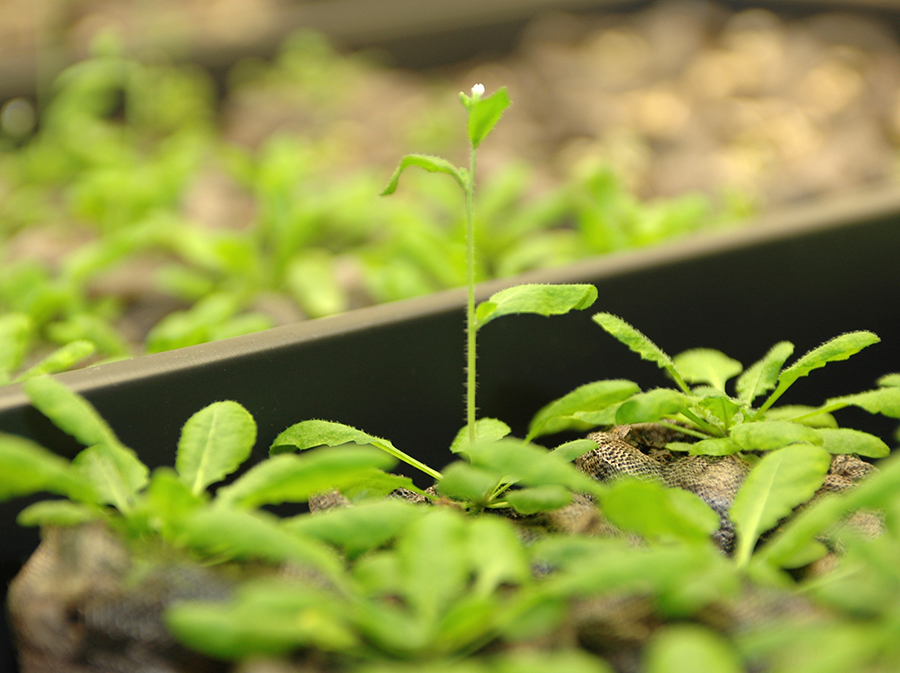 Thale Cress plant