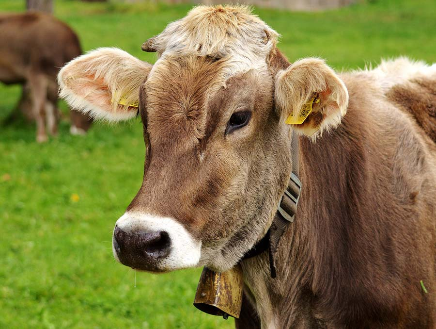 A brown dairy cow wearing a cow bell