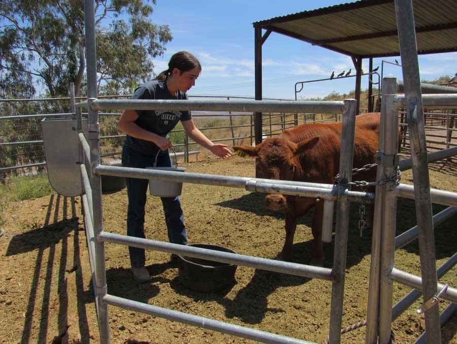 A 4-H girls feeding her brown cow