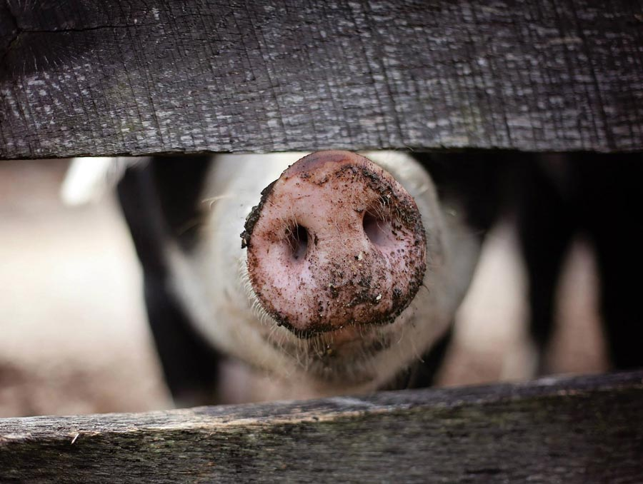 a pig sticking its snout between two horizontal fence boards