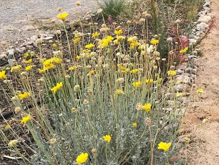Baileya desert marigold