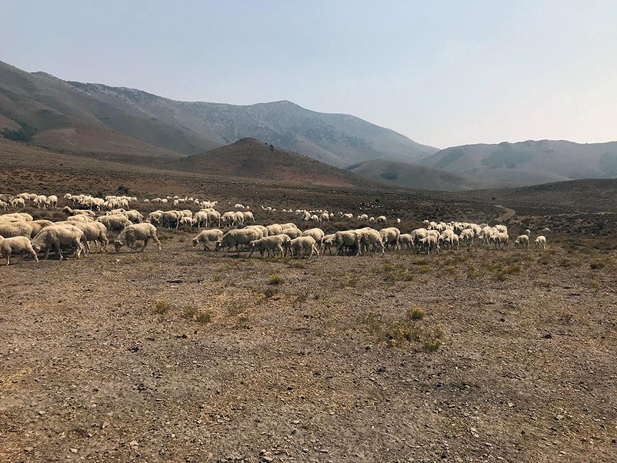 sheep grazing in Cottonwood Canyon