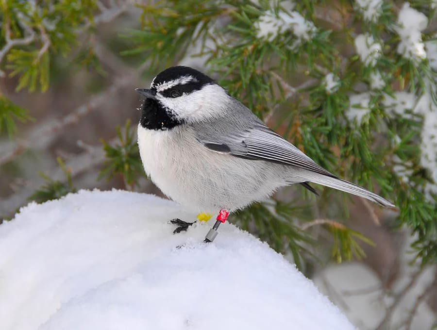 mountain chickadee standing in snow