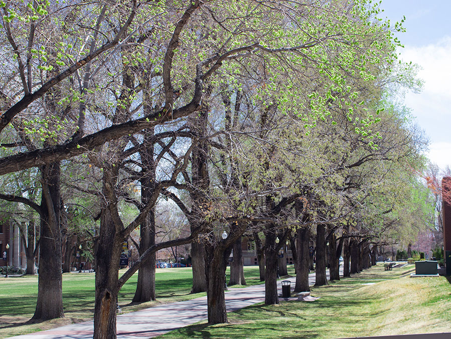 Large green elm trees in the Quad on a sunny spring day