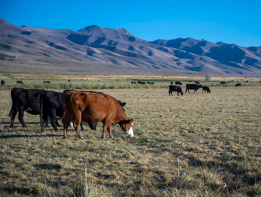 Cattle in a field at the base of a mountain.