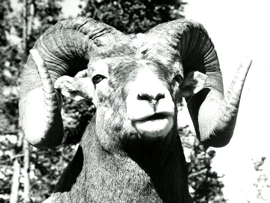 Black and white photo of a Bighorn Sheep from the James D. Yoakum Papers at the University of Nevada, Reno.