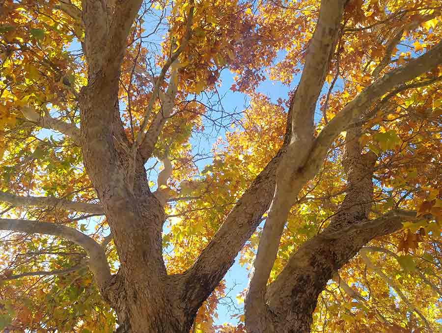 A tree with leaves of different autumn colors.