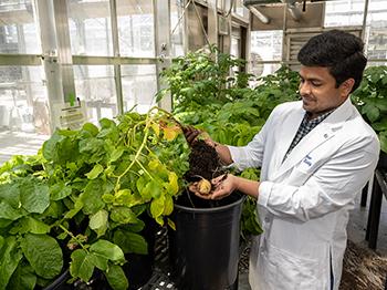 CRISPR utilizată pentru a vindeca rănile cartofilor
