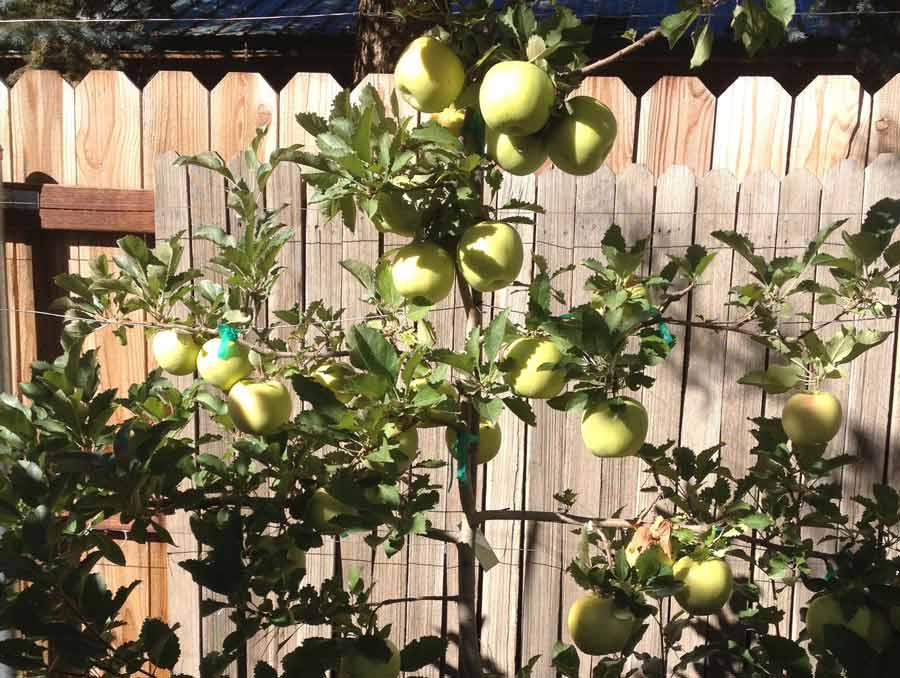 Grimes golden apples on a young tree.